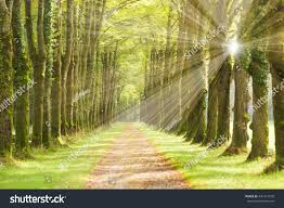 tree alley small track sunrays stock photo 341417570