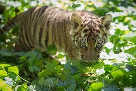 zoo u0027s tiger cub transferred to san diego zoo safari park