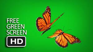 free green screen flying butterfly youtube