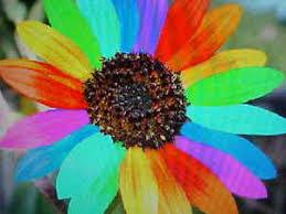 teddy sunflowers six variety sunflower seeds white rainbow mex teddy