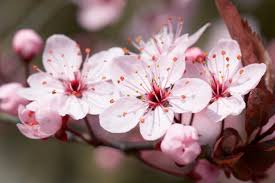 symbolism and meaning of the cherry blossom