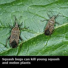 vegetable garden bugs u2013 garden ftempo