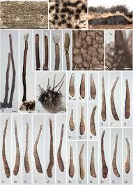 corynespora exosporium and helminthosporium revisited u2013 new