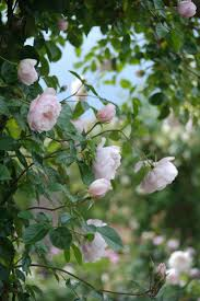 Patio Tree Rose by Roses For Pergolas And Arbors Types Of Roses Hgtv