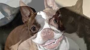 Boston Terrier Meme - boston terrier meme machine youtube