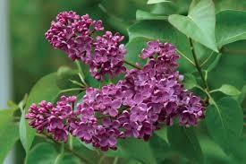 ludwig spaeth lilac monrovia ludwig spaeth lilac