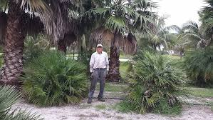 mediterranean fan palm tree hobe sound palm trees plantant com