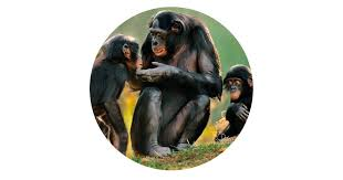 siege social bonobo bonobo bonobo facts dk find out
