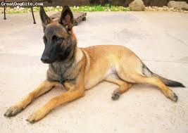 belgian malinois weight at 8 months you only live once stray dog rp members