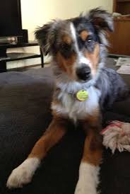 7 month old australian shepherd puppy miniature australian shepherd missing in berea cleveland com