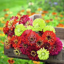 Zinnias Flowers Zinnia Seeds Grow Beautiful Flowers 1 95 Sarah Raven