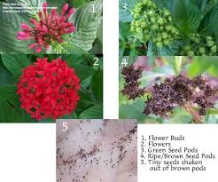 pentas flower plantfiles pictures cluster flower pentas