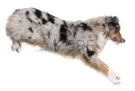 australian shepherd 7 mesi australian shepherd full length stock photos royalty free