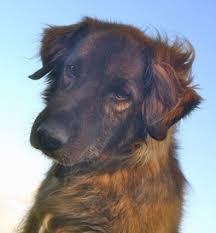 belgian sheepdog on petfinder golden retriever archives petfinder
