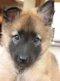belgian shepherd 4 types tervuren belgian shepherd sheepdog dogs puppy belgian tervuren