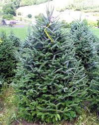 selecting the perfect christmas tree tree types msu extension