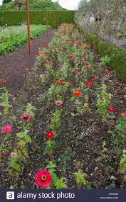 rows of red and pink flowers companion planting in the vegetable