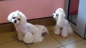 Dog Grooming Styles Haircuts Luigi U0026 Meysi After Korean Style Grooming Youtube