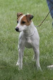 haircut ideas for long hair jack russell dogs jack russell terrier breed information history health pictures