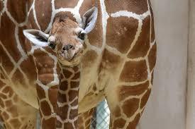 baby giraffe at maryland zoo still struggling to gain weight