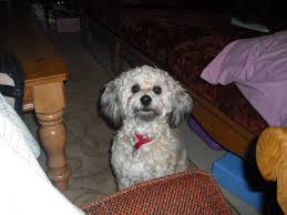 shih tzu with curly hair pets lost and found in fannin county tx reward lost male