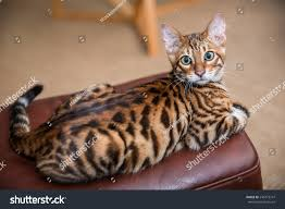 orange striped toyger cat lying on stock photo 545773747