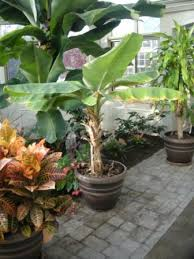 mini banana tree growing bananas in a greenhouse garden greenhouse