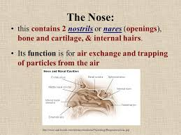 Nose Anatomy And Physiology Anatomy And Physiology The Respiratory System Breathing Https