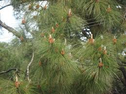 file pine tree from dharamshala jpg wikimedia commons