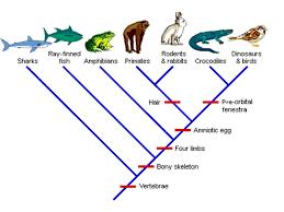 cladograms raccoonslesser pandasgiant pandasbears common ancestor