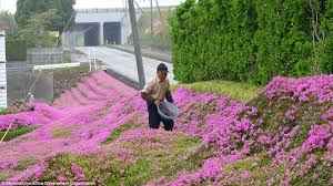 japanese husband plants thousands of pink blooms for his blind