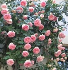 priyathams imported pink climbing rose plant seed price in india