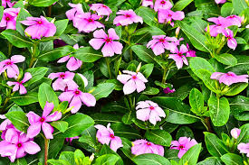 Vinca Flower Information - poisoning in dogs symptoms causes diagnosis treatment