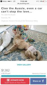 australian shepherd knoxville tn cleo the aussie finds a forever home wbir com