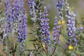utah native plants wci seed production