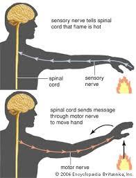 Describe A Reflex Action Reflex Arc Physiology Britannica Com