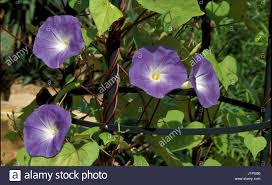 ipomoea heavenly blue morning glory in climbing frame stock photo