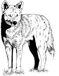 coyote coloring page www btnwildlife org crafty critters u2014 diy