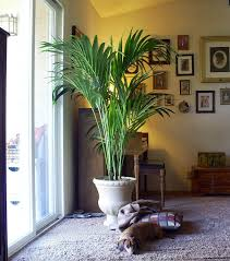 best air purifier plant palms arecaceae or palmae