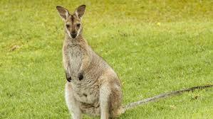 what is a kangaroo u0027s food chain reference com
