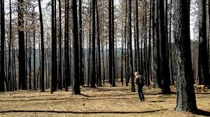 after fires in west mushroom hunters u0027chase the burn u0027 the salt