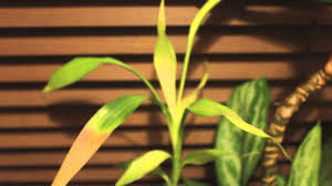 chinese evergreens lucky bamboo and calathea youtube