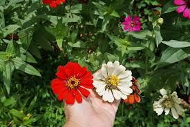 Zinnia Flowers How To Grow And Care For Zinnias