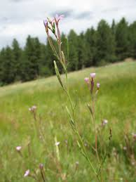 native plant society of new mexico new mexico wildflowers abound new mexico u0027s high country the taos