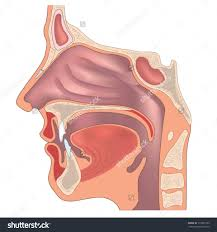 Human Anatomy Physiology Pdf Anatomy And Physiology Of Ear Nose And Throat Pdf Archives Human