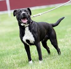 american pit bull terrier life expectancy pit bull labrador mix papapipi jocko the big baby pinterest