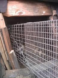 nuisance illinois raccoon removal q u0026 a naperville wildlife