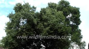 bay leaf or tej patta an aromatic evergreen tree from india