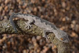 pet magic south west spiny tailed gecko