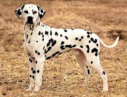Do Brittany Spaniels Shed by Do Dalmatians Shed U2022 Bunkblog